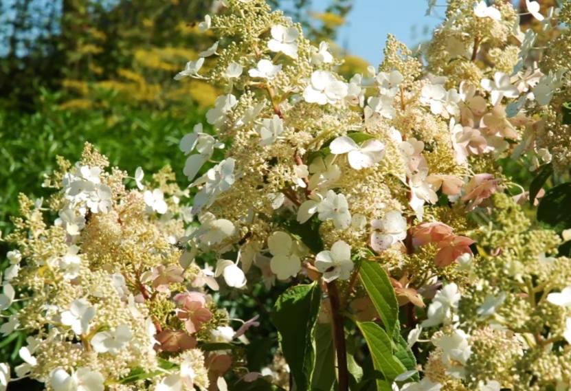 kwiatostan hortensji