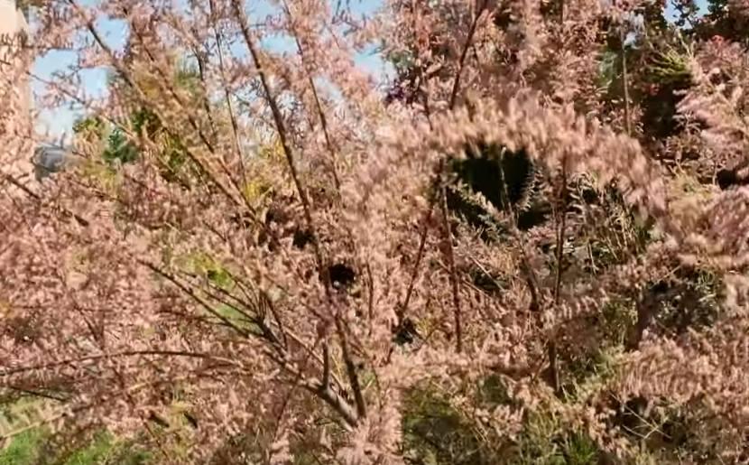 tamaryszek sadzenie